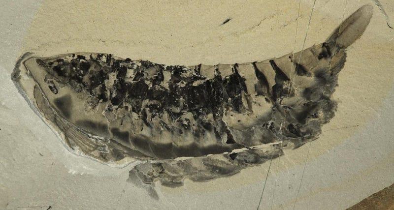 Illustration for article titled Una langosta depredadora ocasionó terror hace 500 millones de años