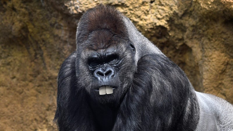 Illustration for article titled Heartbreaking: This Buck-Toothed Gorilla Is Too Dumb-Looking To Ever Scare Poachers Away From His Children