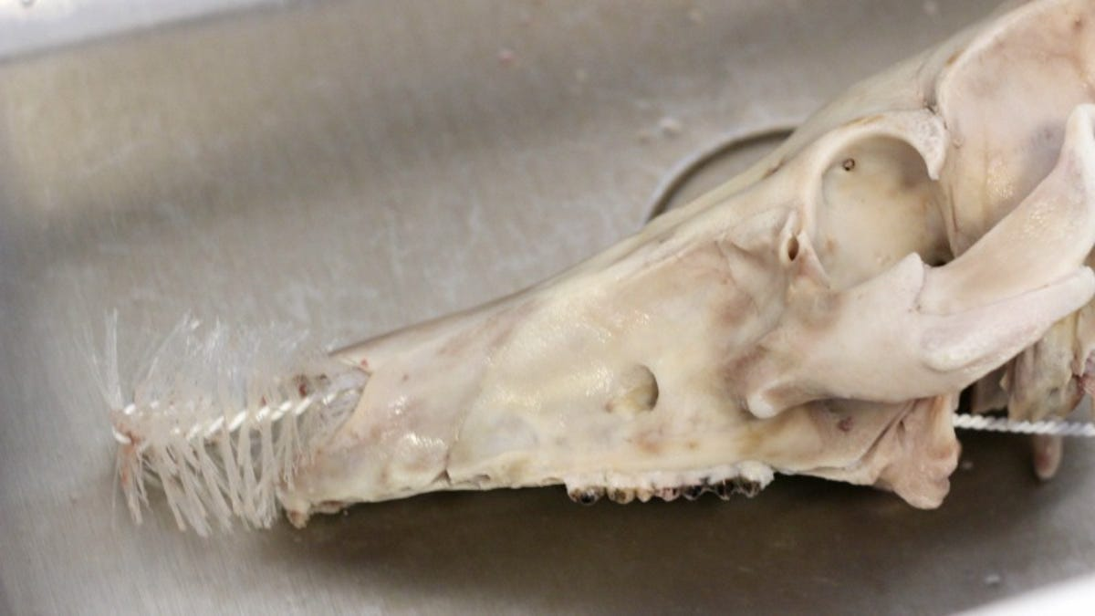 How to Clean Animal Bones So You May Proudly Display Them in