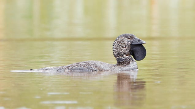 You Bloody Fool,  Says First Talking Duck Known to Science