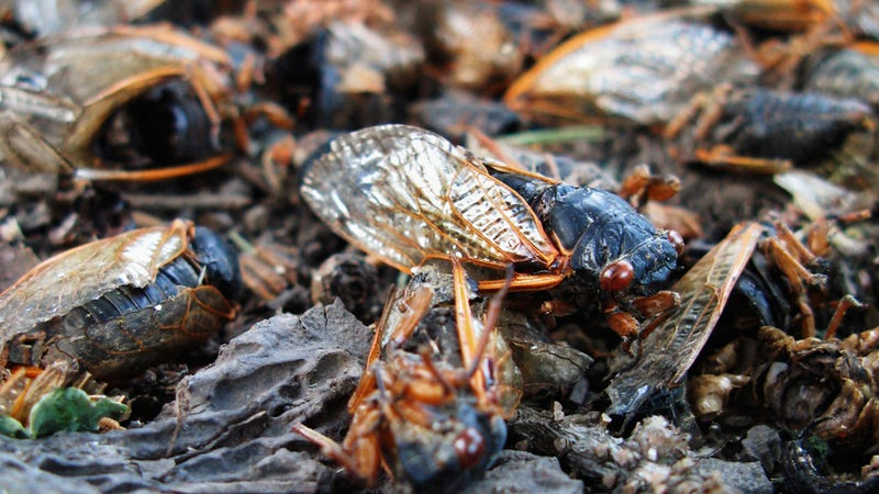 Illustration for article titled What's That Smell? Oh, It's Just the Stink of Rotting Cicada Corpses.