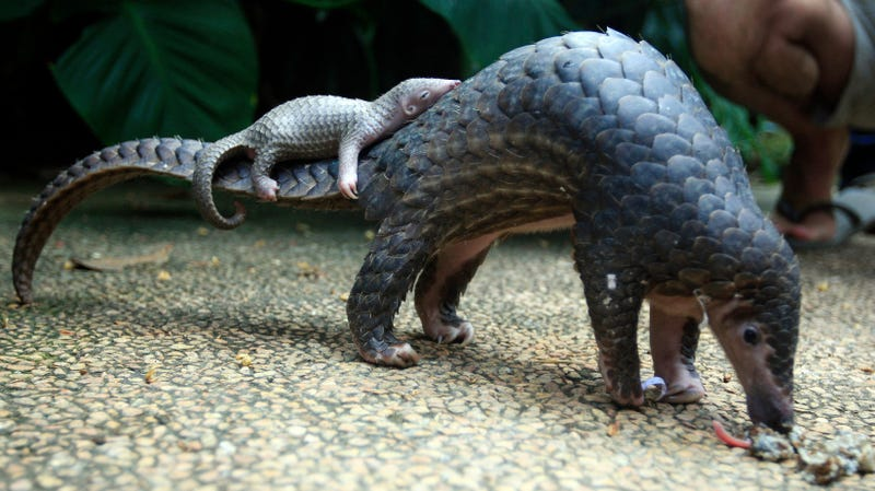 Two pangolins at a zoo in Bali, Indonesia, in 2014.