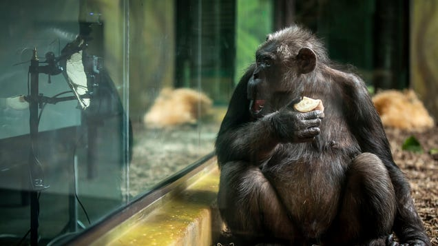 These Chimps Are All of Us