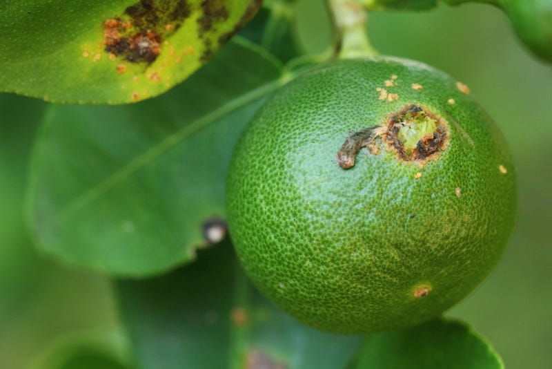 Illustration for article titled Mimicking Insect Mating Calls Could Combat Citrus Greening