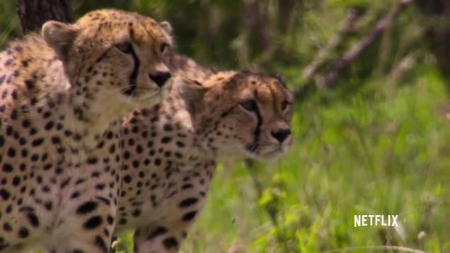 Watch Five Cheetahs Take Down a Wildebeest in a Heart-Pounding Exclusive Clip From Our Planet
