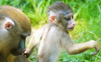 """Illustration for article titled Zoo Renames """"Obama"""" Monkey • Apology Might Secure Journalists' Release"""