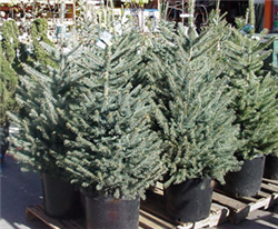 How To Pick And Care For A Live Christmas Tree