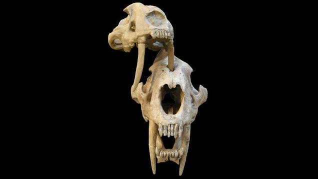 Punctured Skulls Suggest Saber-Toothed Cats Fought Amongst Themselves