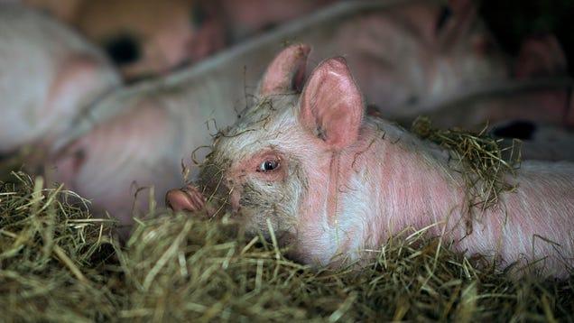 Not Now, Ominous New Swine Flu Strains