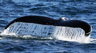 Illustration for article titled Female Humpback Sets Record For Longest Trip Made By A Mammal
