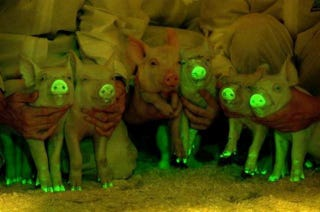 Illustration for article titled These Pigs Glow-in-the-Dark to Save Lives