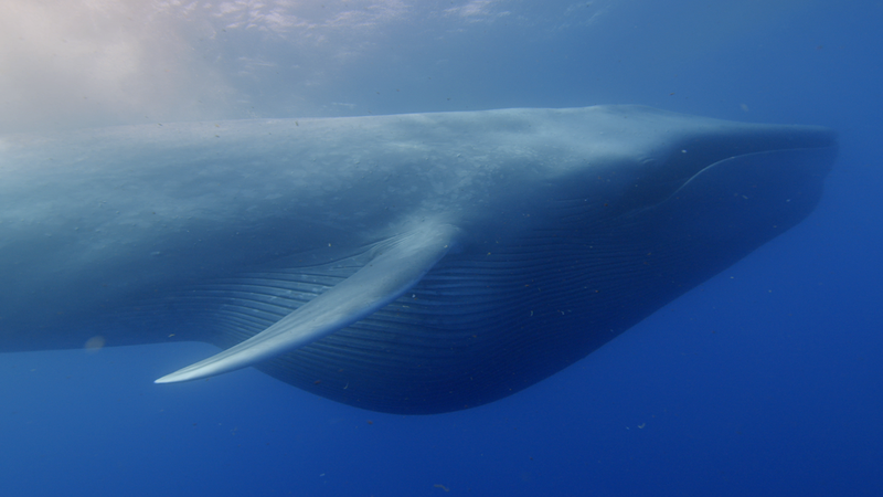 Whales were Not Always as Big as They are Today, Study Says