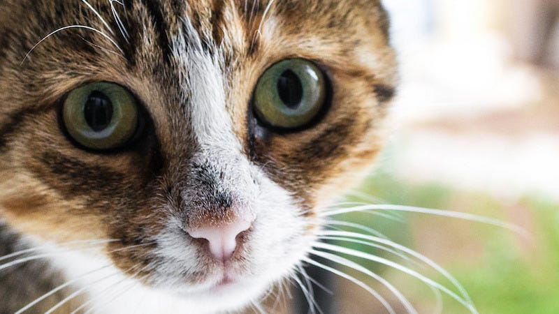 Quieting a Meowing Cat
