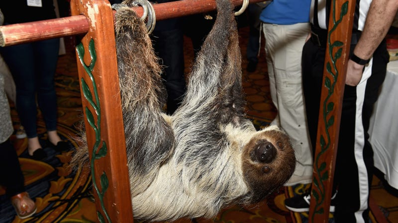 It's the referee. A sloth. Photo:Getty
