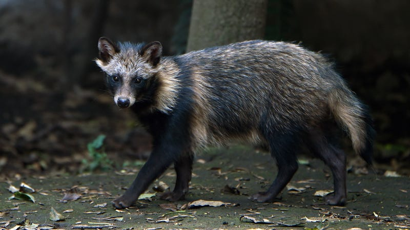 A raccoon dog at the Chapultpec Zoo in Mexico City