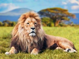 Illustration for article titled Dead Lion Found in Freezer During UK Restaurant Health Inspection