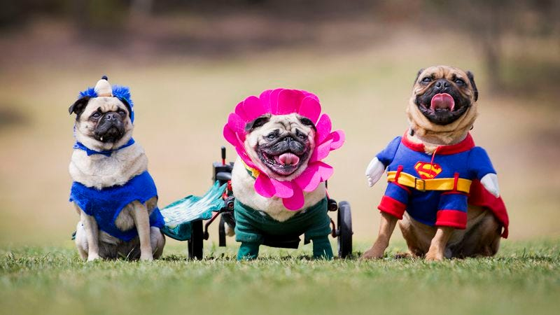 Pups wearing clothing at Pug-O-Ween in Melbourne, Australia (Photo: Newspix/Getty Images)