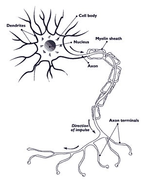 how exactly do neurons pass signals through your nervous system? Neuron Diagram Labeled Blank Axon Diagram #4