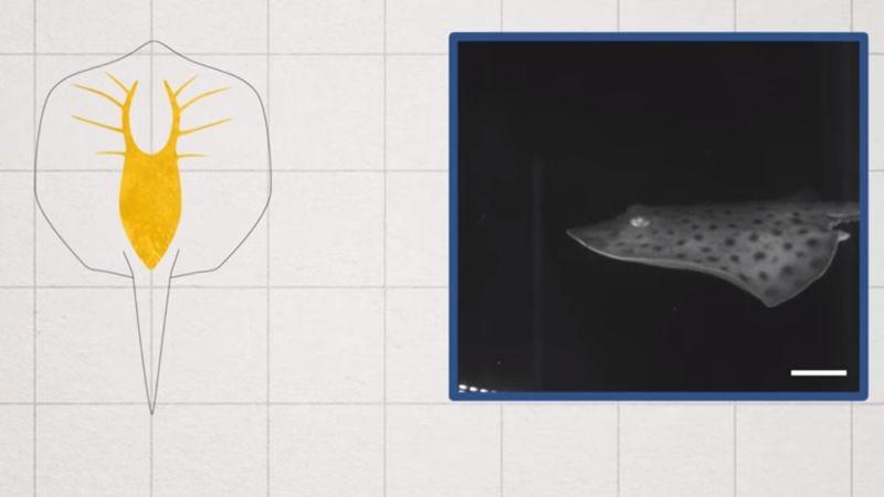 """Robotic ray is part animal, part machine"" (Screenshot: Science)"