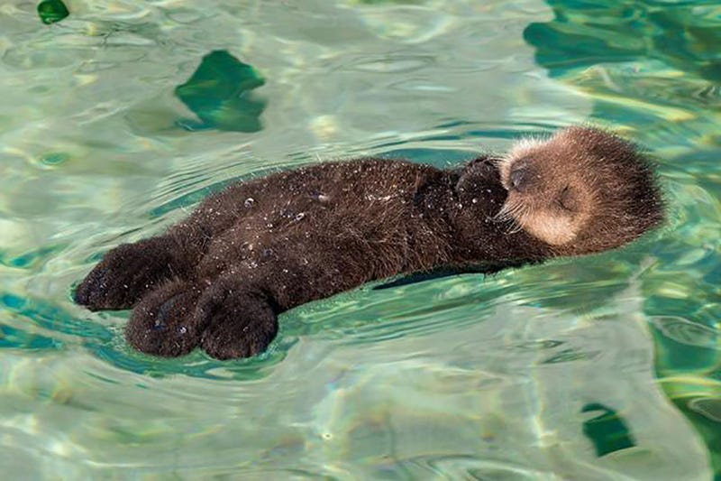 Illustration for article titled It's been a long day, so here's a cute baby otter to heal your ailments