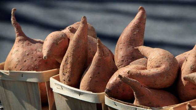 Sweet Potato DNA Challenges Theory That Polynesians Beat Columbus to America