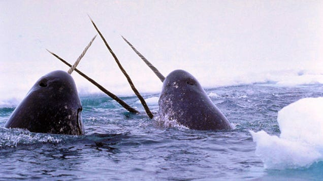 Narwhal Tusks Show How Climate Change and Pollution Are Reshaping the Arctic
