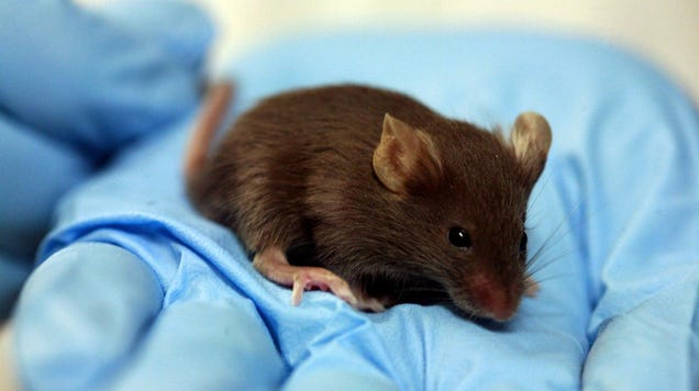 Rodents With Part-Human Brains Pose a New Challenge for Bioethics