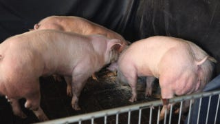 "Illustration for article titled Are These ""Double-Muscled"" Pigs the Future of Meat?"