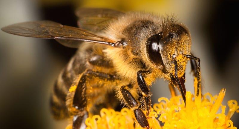 Illustration for article titled Por la ciencia: el científico que dejó que una abeja le picara en el pene