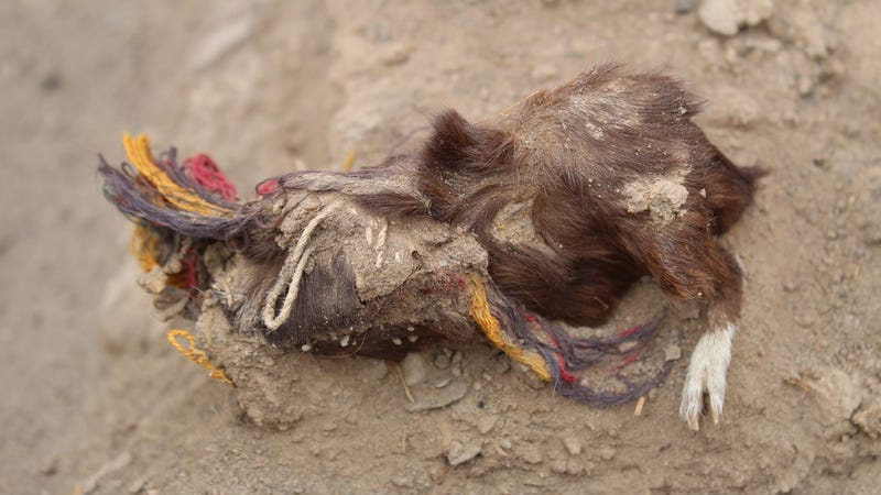 A sacrificed guinea pig found at Tambo Viejo. Arid conditions  contributed to the exquisite preservation of the remains, dated to 400 years ago.