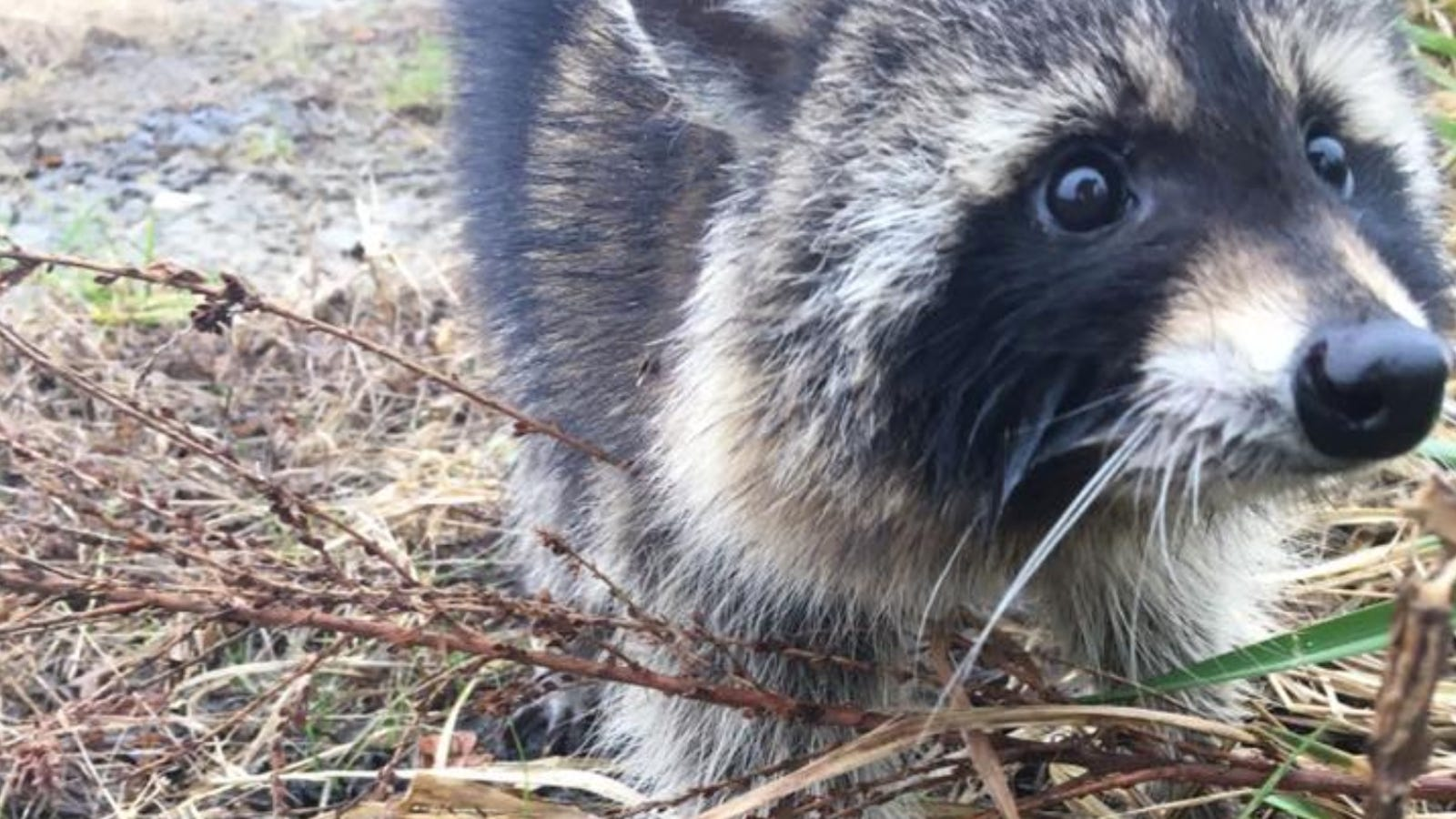 Raccoons Suspected of Having Rabies Were Actually Just Drunk as Hell