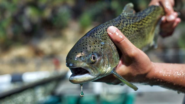 Heat Isn't the Only Thing That Could Kill 'Nearly All' Young Salmon in the Sacramento River