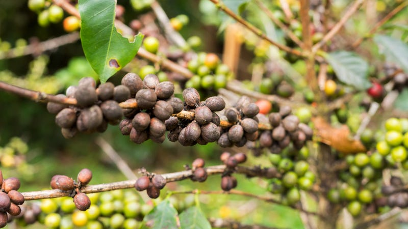 Illustration for article titled More than half of world's coffee species at risk of extinction