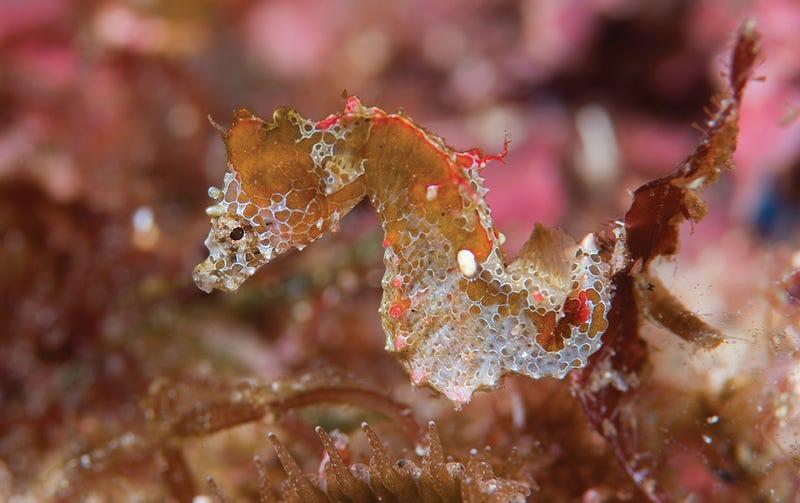 Esta nueva especie de caballito de mar es tan pequeña que ha permanecido años oculta a simple vista (es.gizmodo.com)