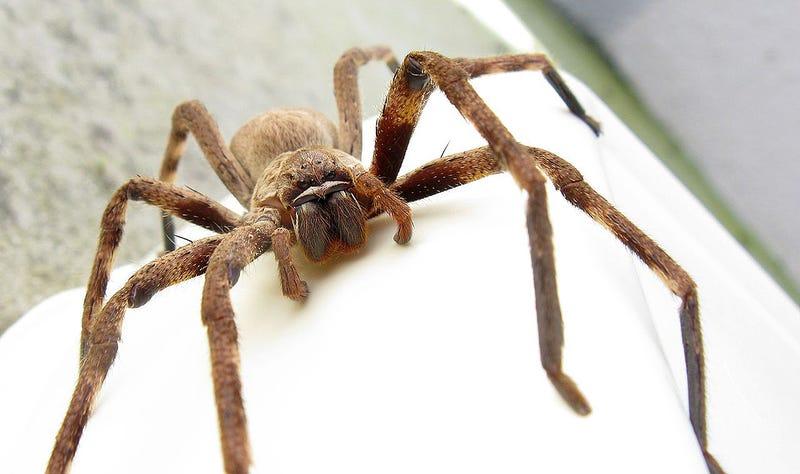Palystes castaneus, una de las muchas especies de araña que se pueden encontrar en Australia