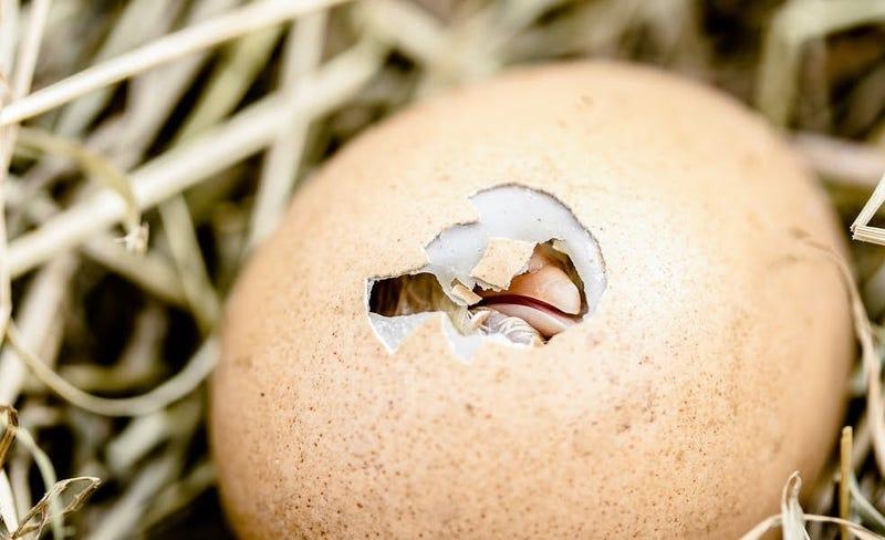 Illustration for article titled Cómo consiguen los polluelos el oxígeno necesario cuando aún están dentro de sus huevos
