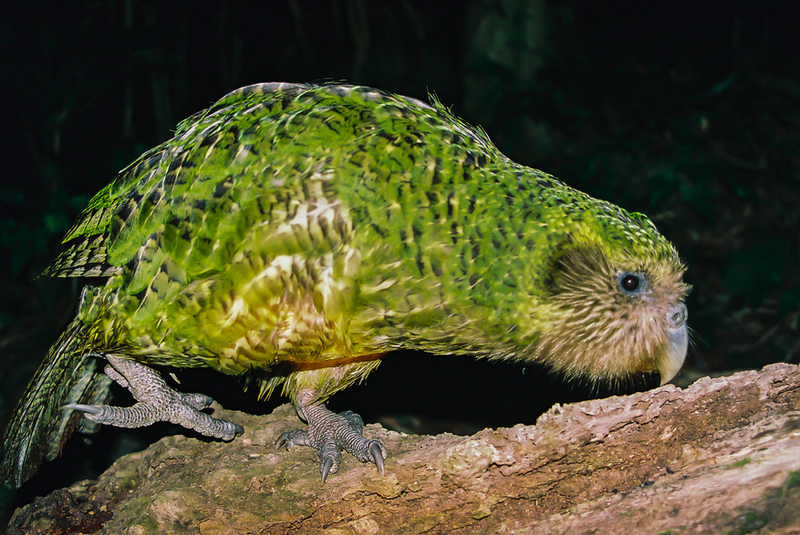 Illustration for article titled Today I Learned About the Kakapo
