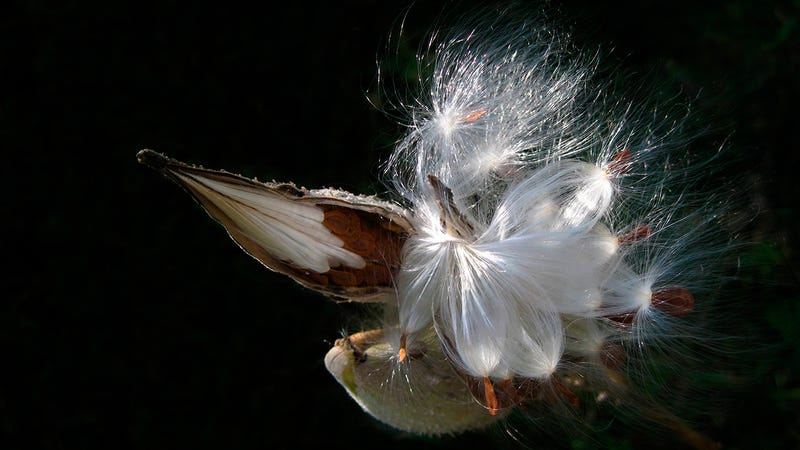 Illustration for article titled Could Humble Milkweed Replace Down Feathers In Your Outdoor Gear?
