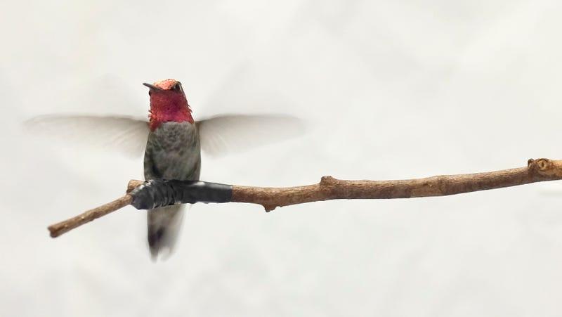 Colibrí de Ana, una especie común de la costa oeste de Norteamérica. Imagen: Universidad de Columbia Británica