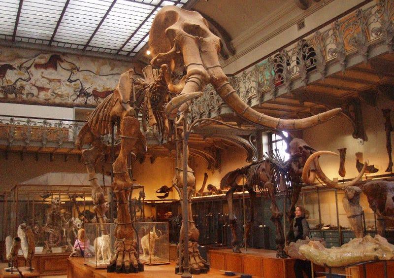 Illustration for article titled Más cerca de recrear al mamut: insertan su ADN en células de elefante