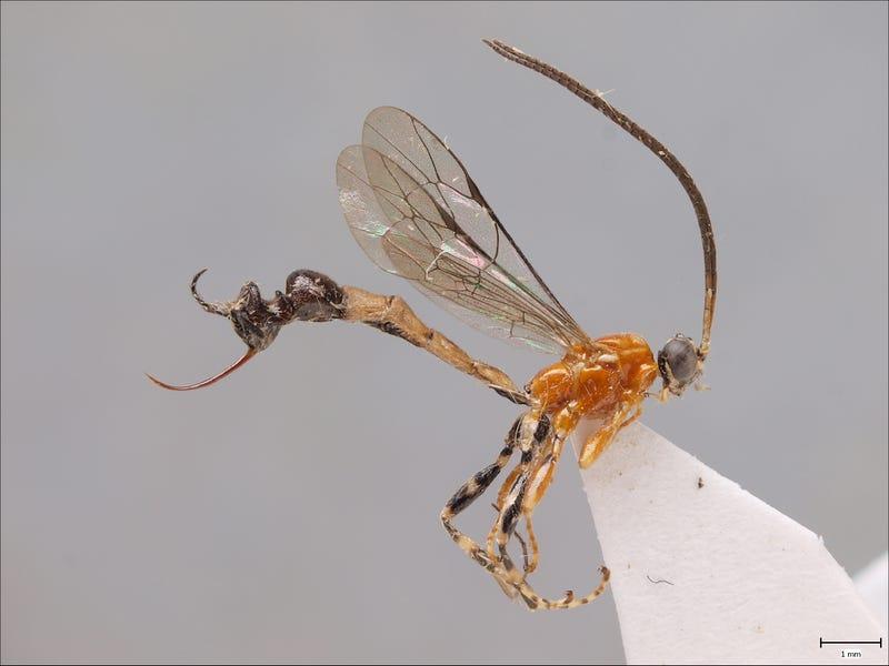 Esta nueva especie de avispa evolucionó para tener un trasero con forma de hormiga