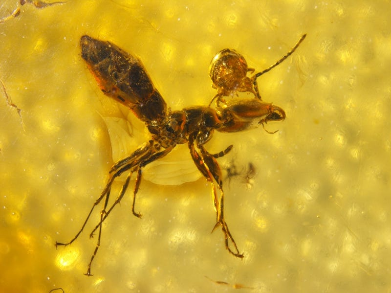 Illustration for article titled An Ant With A Parasitic Mite Stuck To Its Head Preserved In Amber
