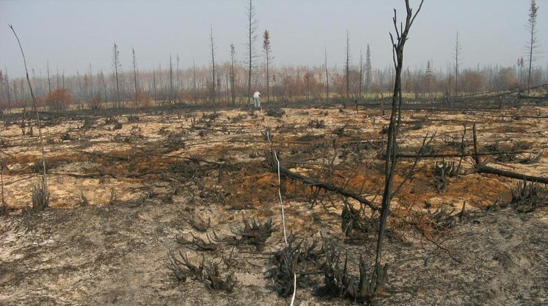 A severe wildfire wiped out a spruce forest in Yukon Flats National Wildlife Refuge, Alaska.