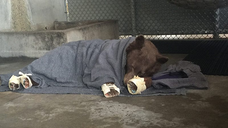 The younger bear rests in her holding enclosure after her treatment is  finished. The outer wrapping on her feet (made of corn husks) will delay  her efforts to chew off the tilapia skin bandages underneath. Image: California Department of Fish and Wildlife