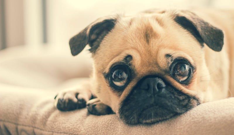 Illustration for article titled La creencia de que un año humano equivale a siete de perro es falsa: así envejecen realmente