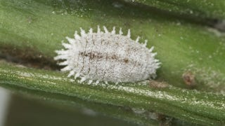 Illustration for article titled The Ultimate Symbiosis: Mealybugs have bacteria living inside their bacteria