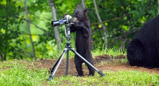 Illustration for article titled This Bear Cub Thinks It's People, And It Wants To Take Your Picture