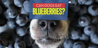 How Many Blueberries Can I Give My Dog
