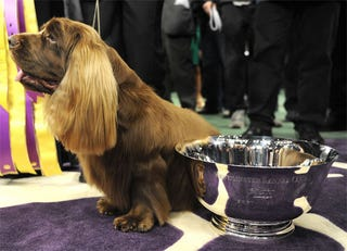 Illustration for article titled Stump The Spaniel Is Westminster's New Winner