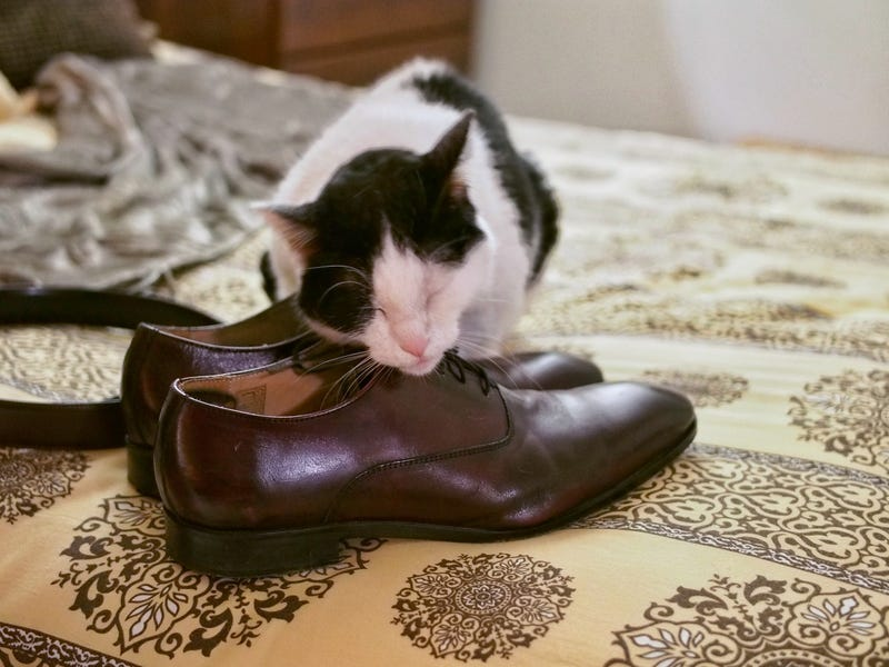 Illustration for article titled Remember my cat who's obsessed with my gym shoes? She's now expanded her horizons to dress shoes.
